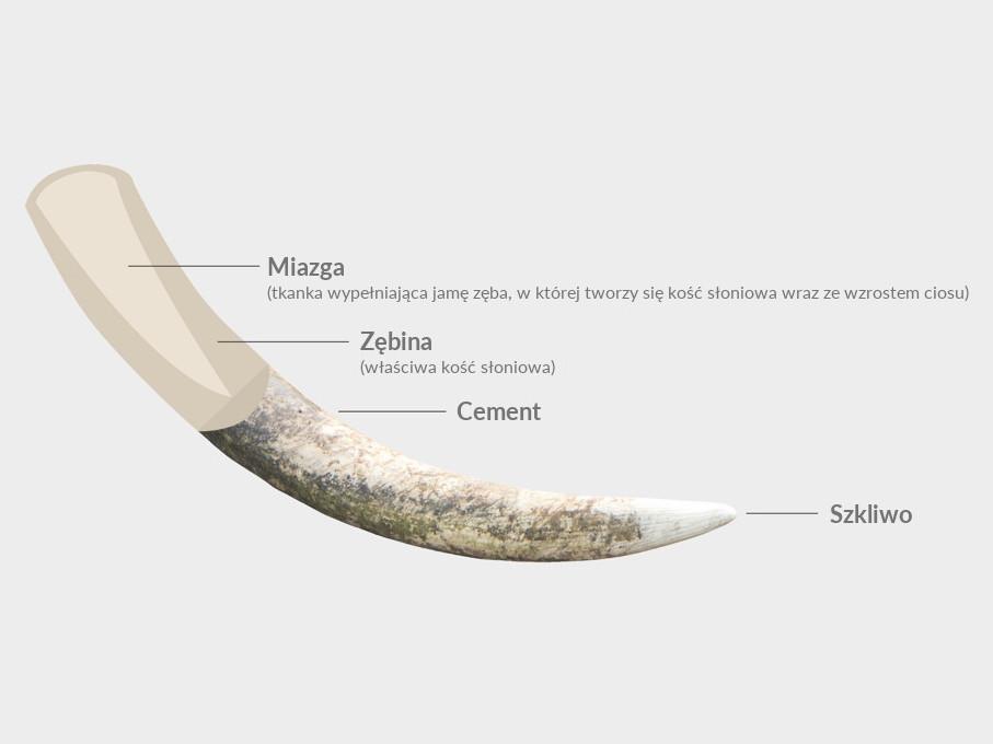 Schemat przedstawiający z jakich części składa się słoniowy cios (nie nazywamy ich kłami, bo praktycznie są to przekształcone siekacze)